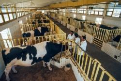 акушерство и гинекология в молочном животноводстве